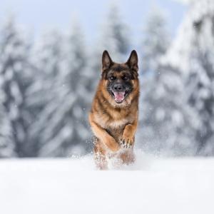 Deutscher Schäferhund beim Rennen