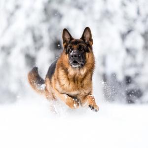 Deutscher Schäferhund rennt durch den Schnee