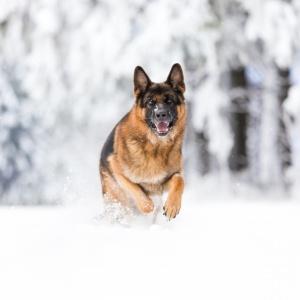 Hundefotografie rund um Basel: Deutscher Schäfer im Schwarzwald