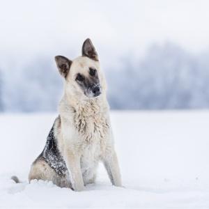 Tierfotografie in der Schweiz: Schäfermix im Schnee