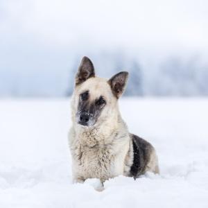Schäfermix liegt im Schnee und dreht Kopf