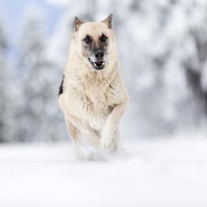 Schäfermix voller Action im Schnee