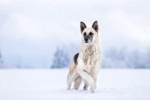 Weisser stattlicher Schäferhundmischling steht im Schnee