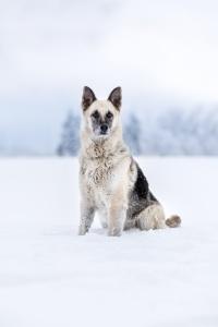 Hundefotografie in der Schweiz: Weisser Schäferhundmischling sitzt im tiefen Schnee