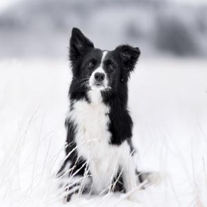 Hundefotografie Schweiz: Border Collie Hündin Elay in einer winterlichen Landschaft im Schwarzwald