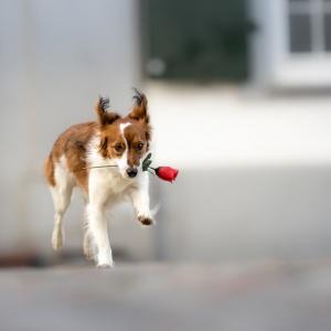 Kooiker Lucy rennt mit einer Rose