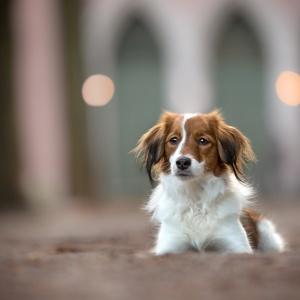 Ein Portrait eines Kooiker Hundes vor einer Kirche in Basel