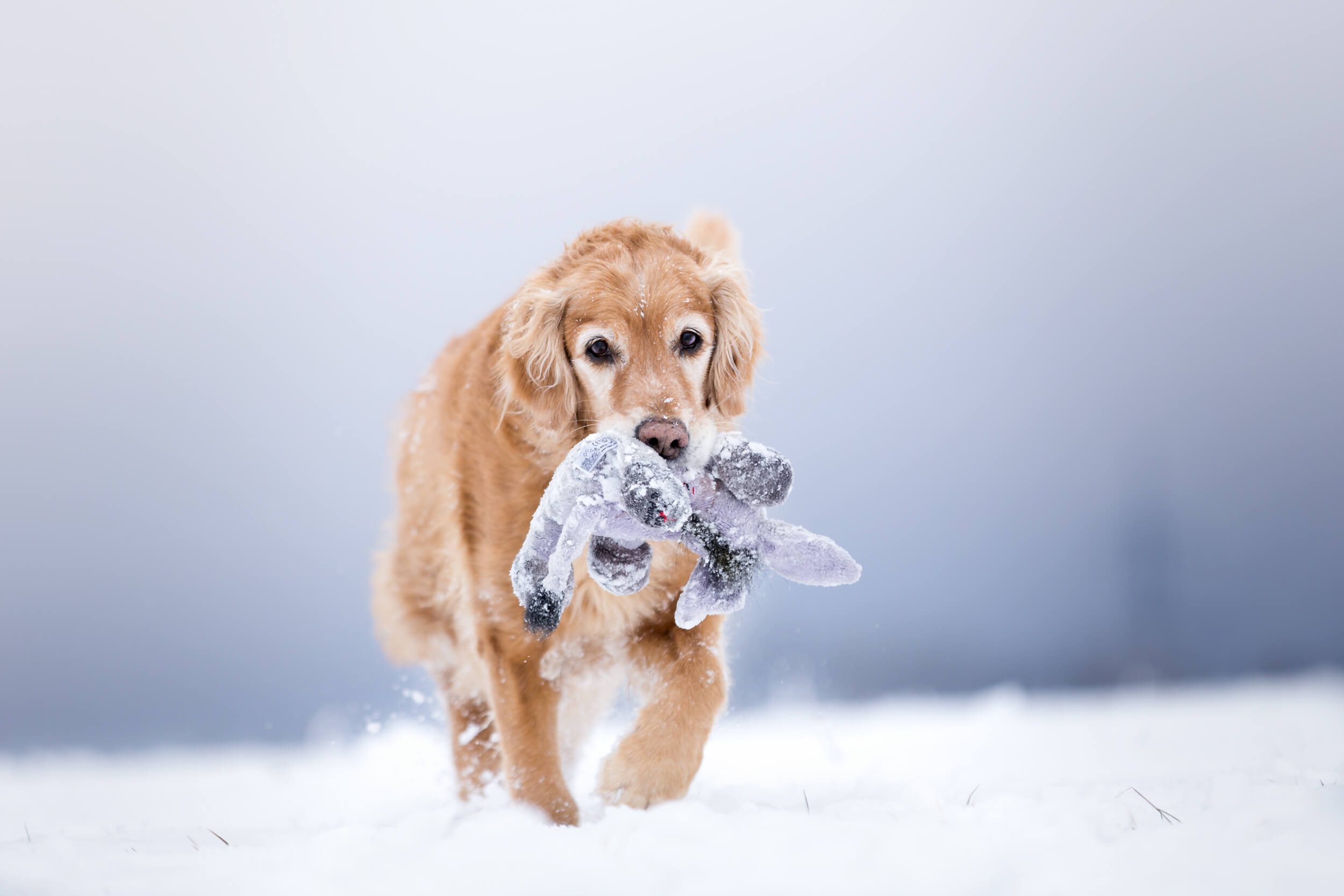 Golden Retriever spielt im Schnee