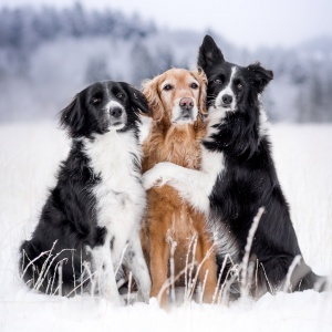 Beste Freunde: Zwei Border Collies und ein Goldie im Schnee