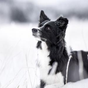 Hundefotografie in der Nordwestschweiz: Border Collie im Schnee