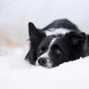 Hundefotografie Schweiz: Border Collie liegt im Schnee