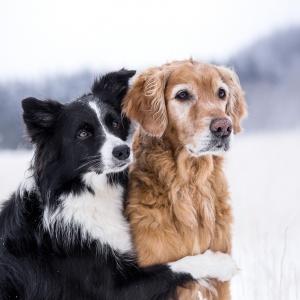 Die Beiden sind ein Team: Border Collie und Golden Retriever