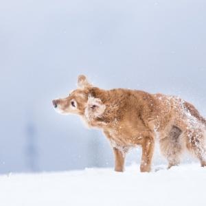 Golden Retriever im Schnee unterwegs