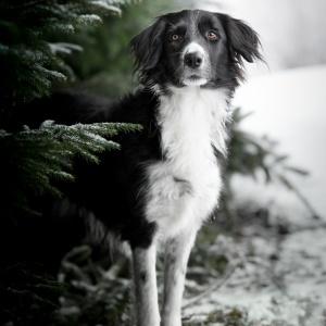 Tierfotografie rund um Basel: Border Collie Mix Jamie im Tannenwald