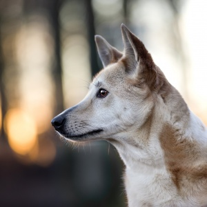 Tierfotografie Schweiz: Canaan Dog Jara im Sonnenuntergang