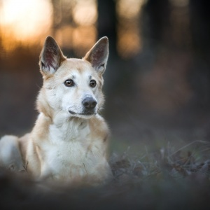 Canaan Dog Jara liegend im Sonnenuntergang