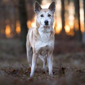 Canaan Dog Jara steht im Sonnenuntergang im Wald bei Möhlin
