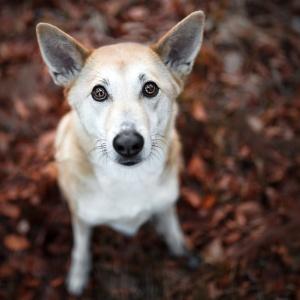 Der Blick eines Hundes: Canaan Dog Jara mit grossen braunen Kulleraugen