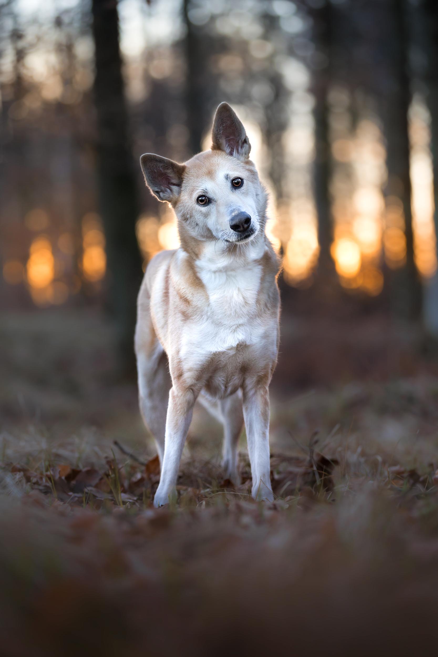 Canaan Dog steht im Wald