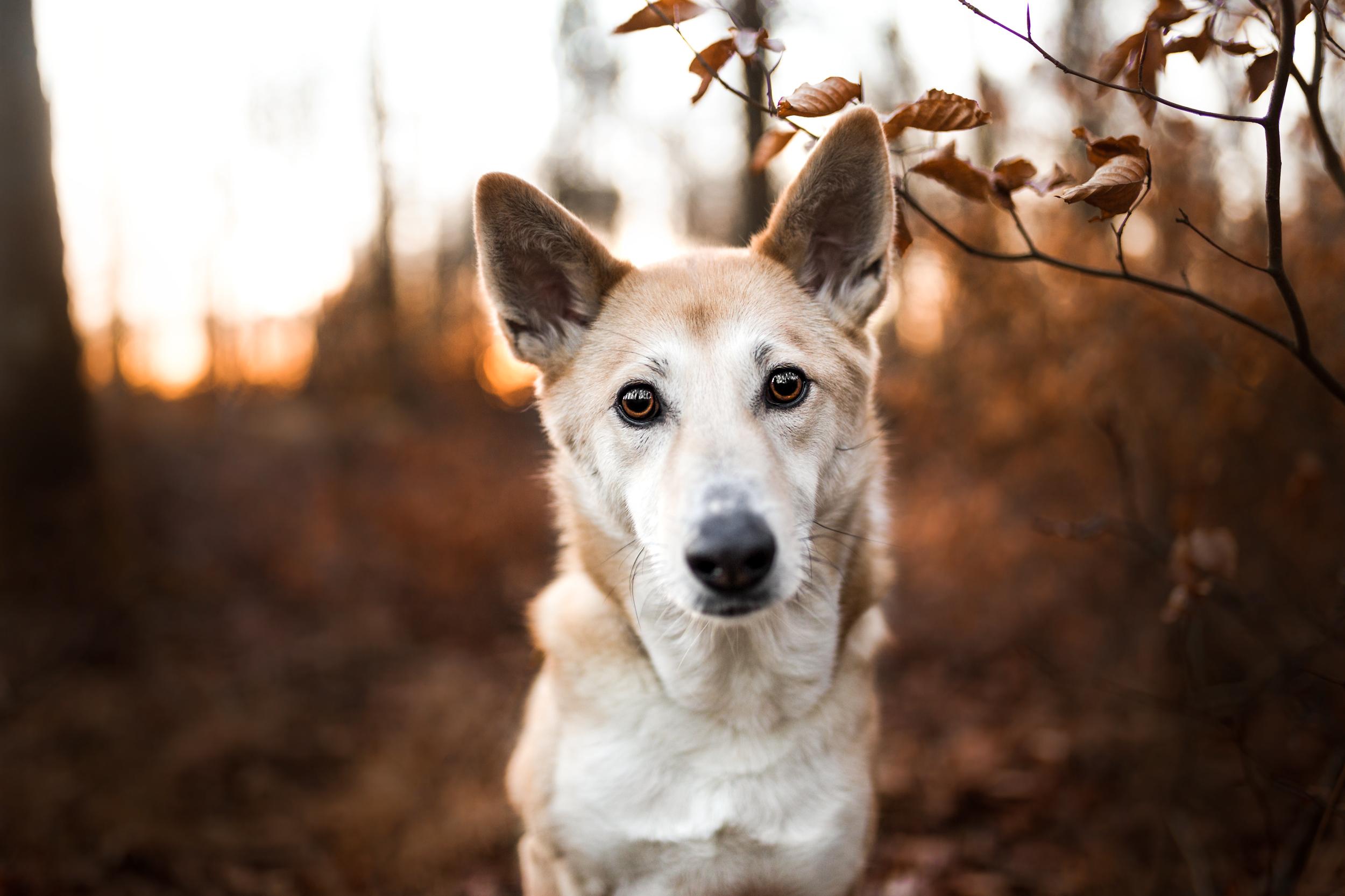 Canaan Dog Jara im Sonnenuntergang