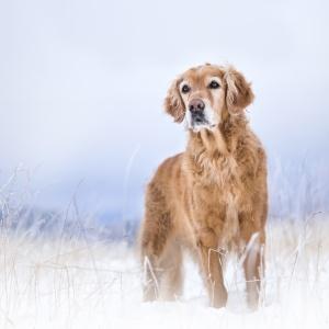 Hundefotografie im Schwarzwald: Portrait einer Golden Retriever Hündin im Schnee