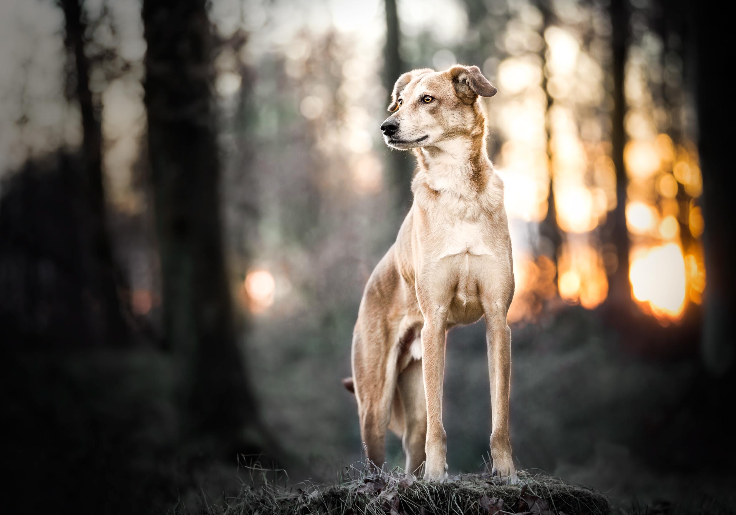 Windhundmischling steht stolz auf einem Baumstamm