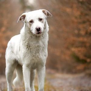 Portrait eines Herdenmischlingshundes