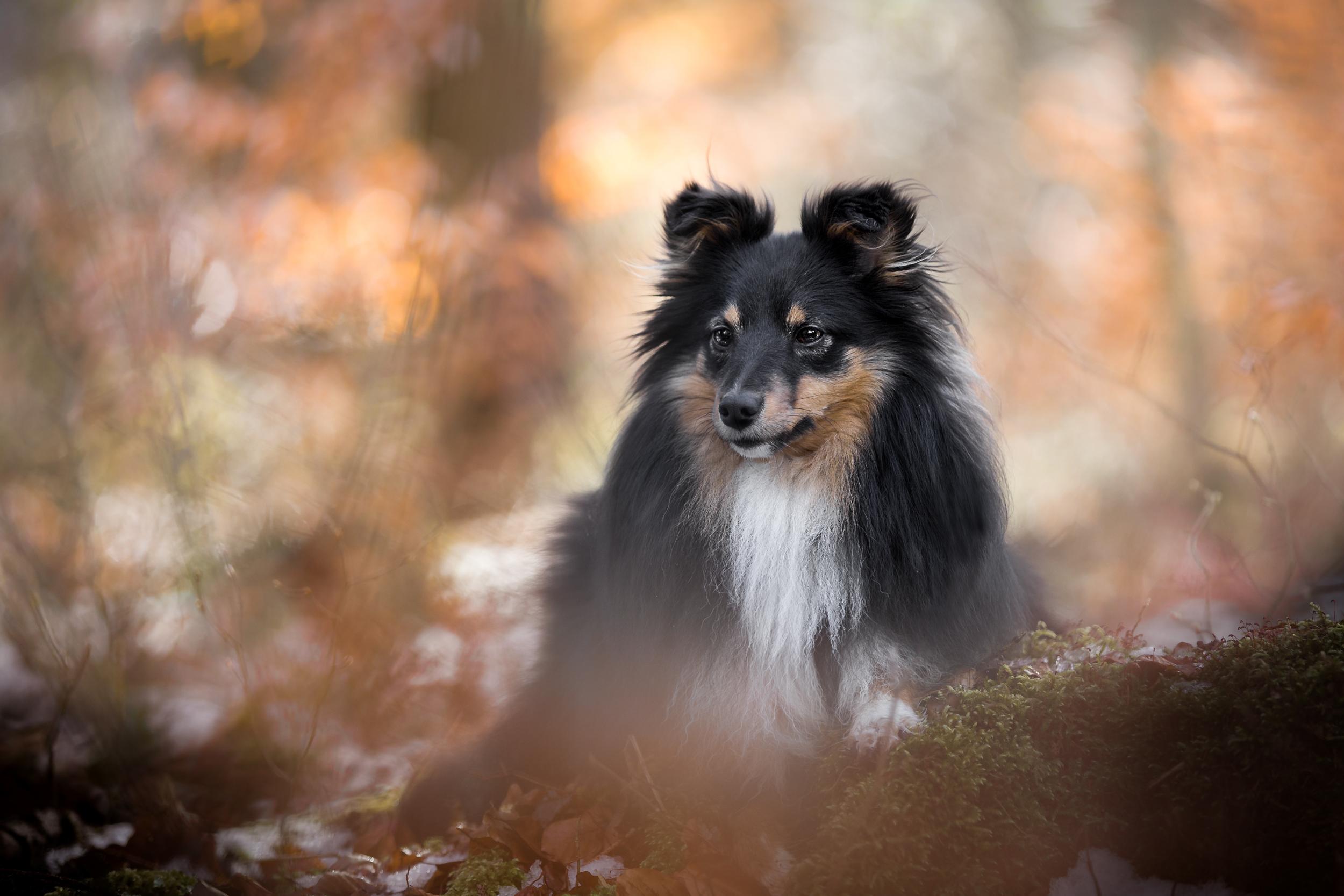 Hundefotografie rund um Basel: Sheltie im goldenen Winterlicht