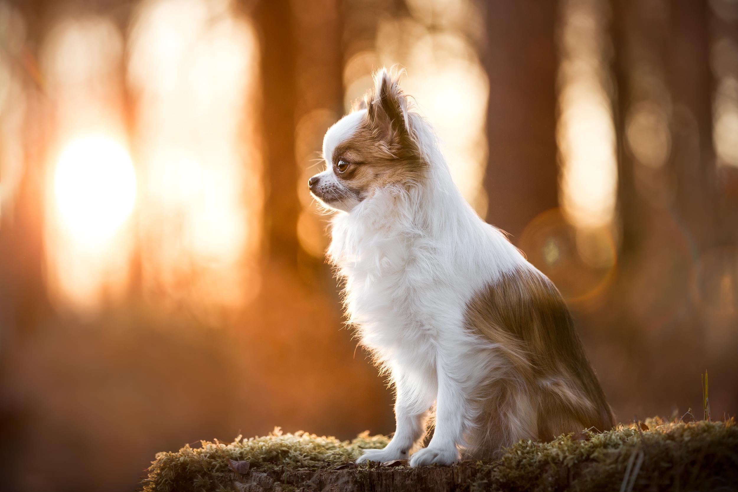 Chihuahua Bambi auf einem moosbewachsenen Baumstamm im Sonnenlicht