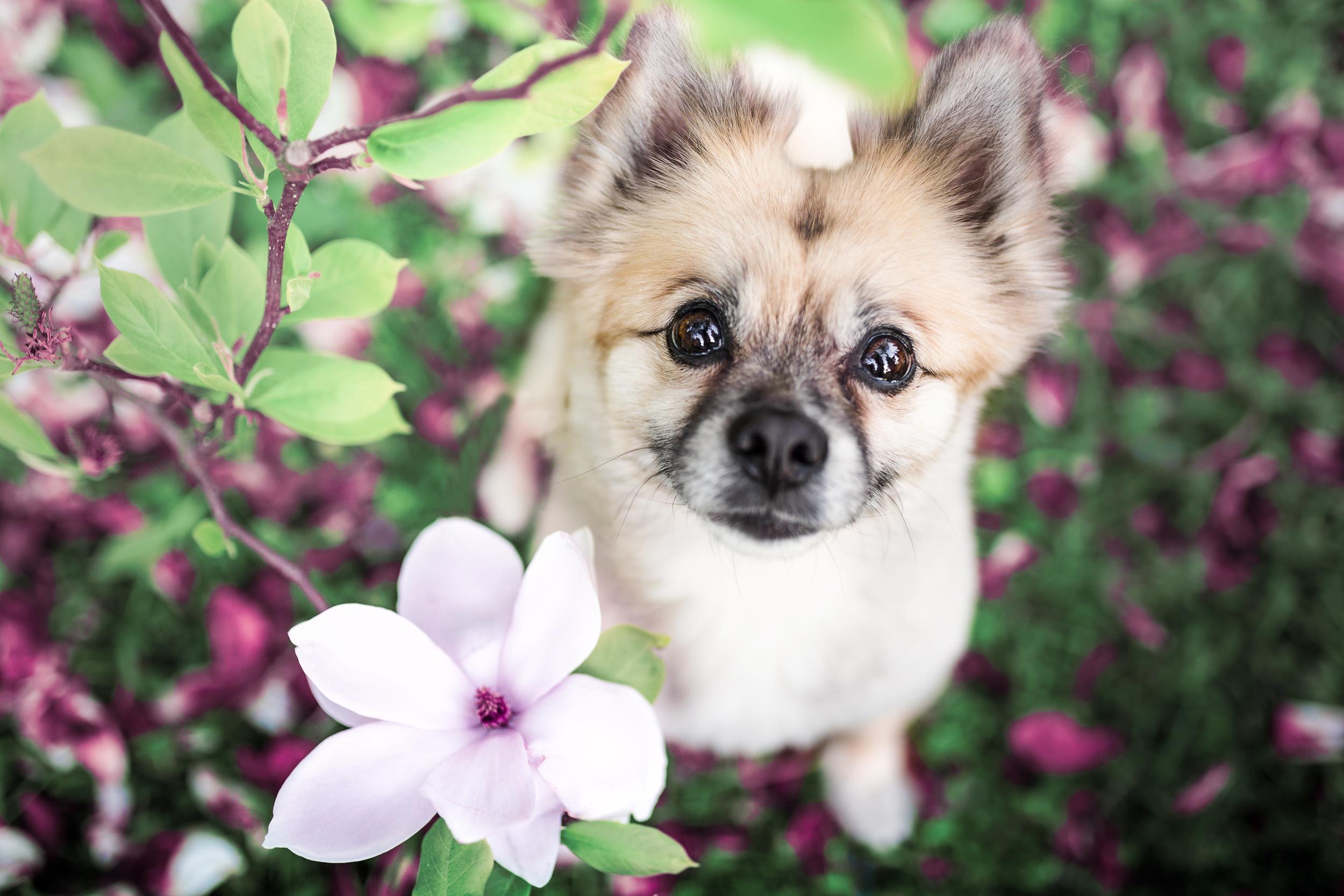 Mischlingshund Momo inmitten von Magnolien
