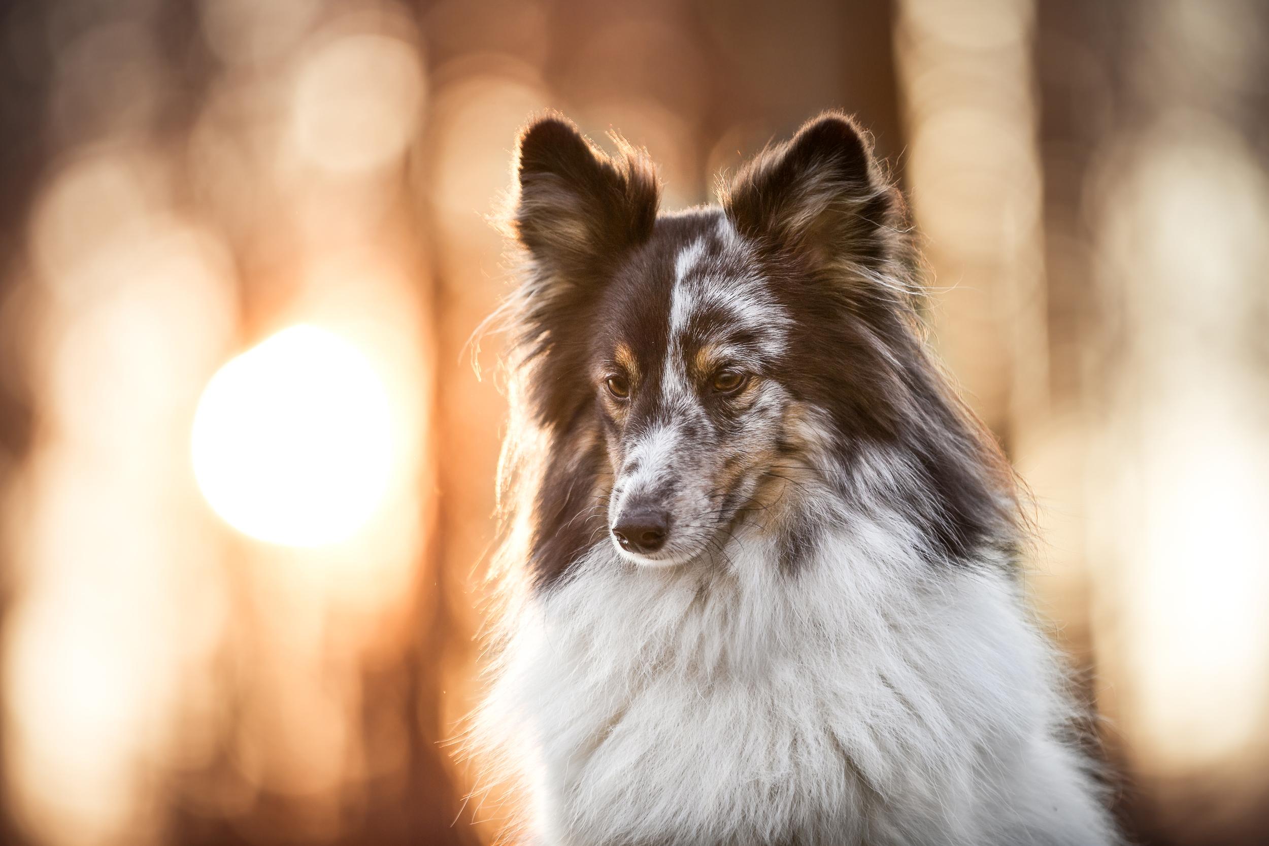 Portrait eines Shelties im Sonnenuntergang