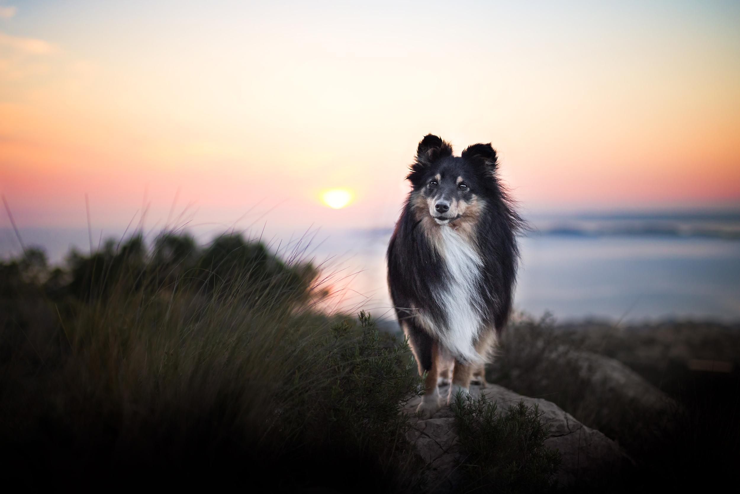 Sheltie steht im Sonnenuntergang am Mittelmeer
