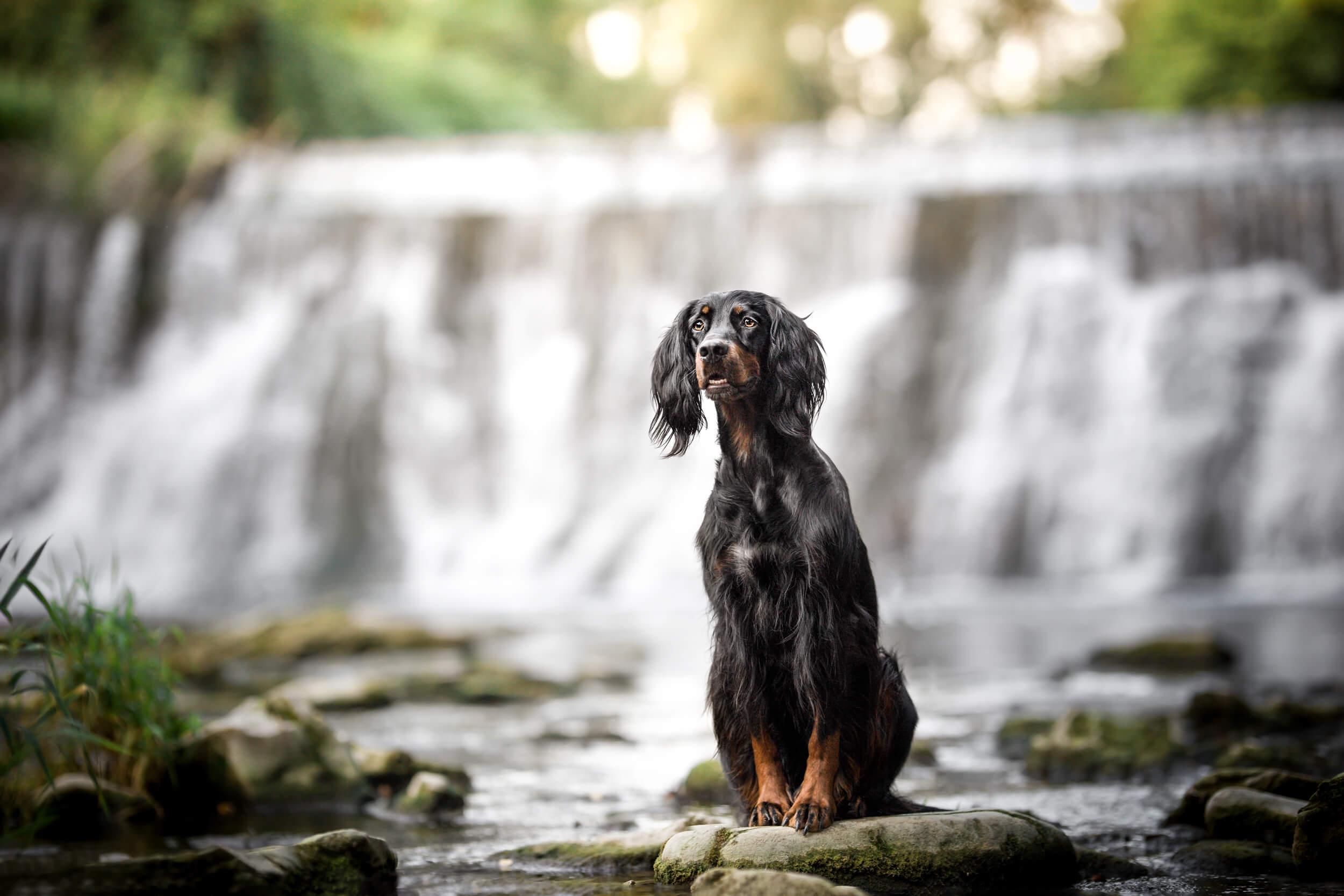 Gordon Setter Skadi an einem Wasserfall bei Basel