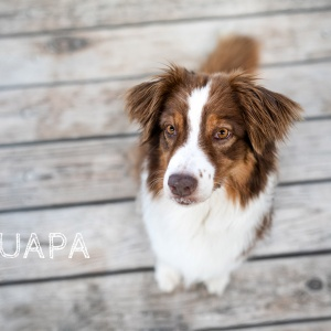 Hundefotografie Schweiz: Australian Shepherd