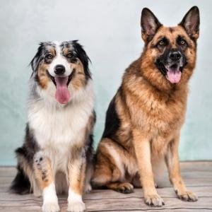 Schäferhund und Australian Shepherd sitzend