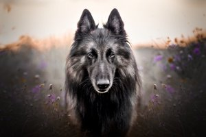Ein Tervuere oder Belgischer Schäferhund