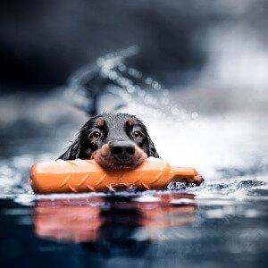 Gordon Setter schwimmt im Fluss