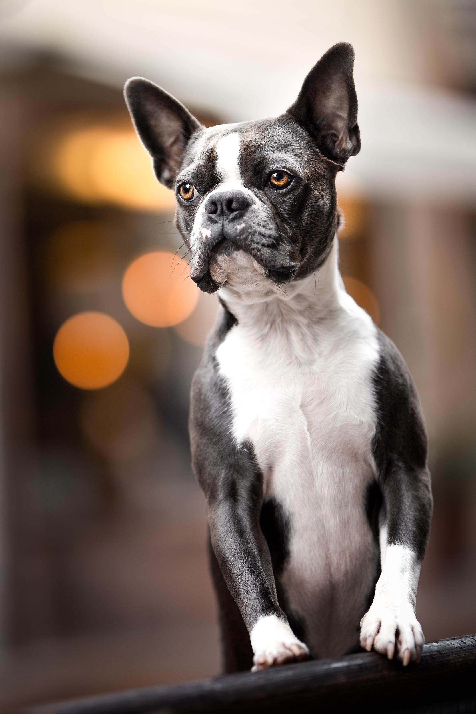 Boston Terrier in der Altstadt von Rheinfelden auf einer Bank