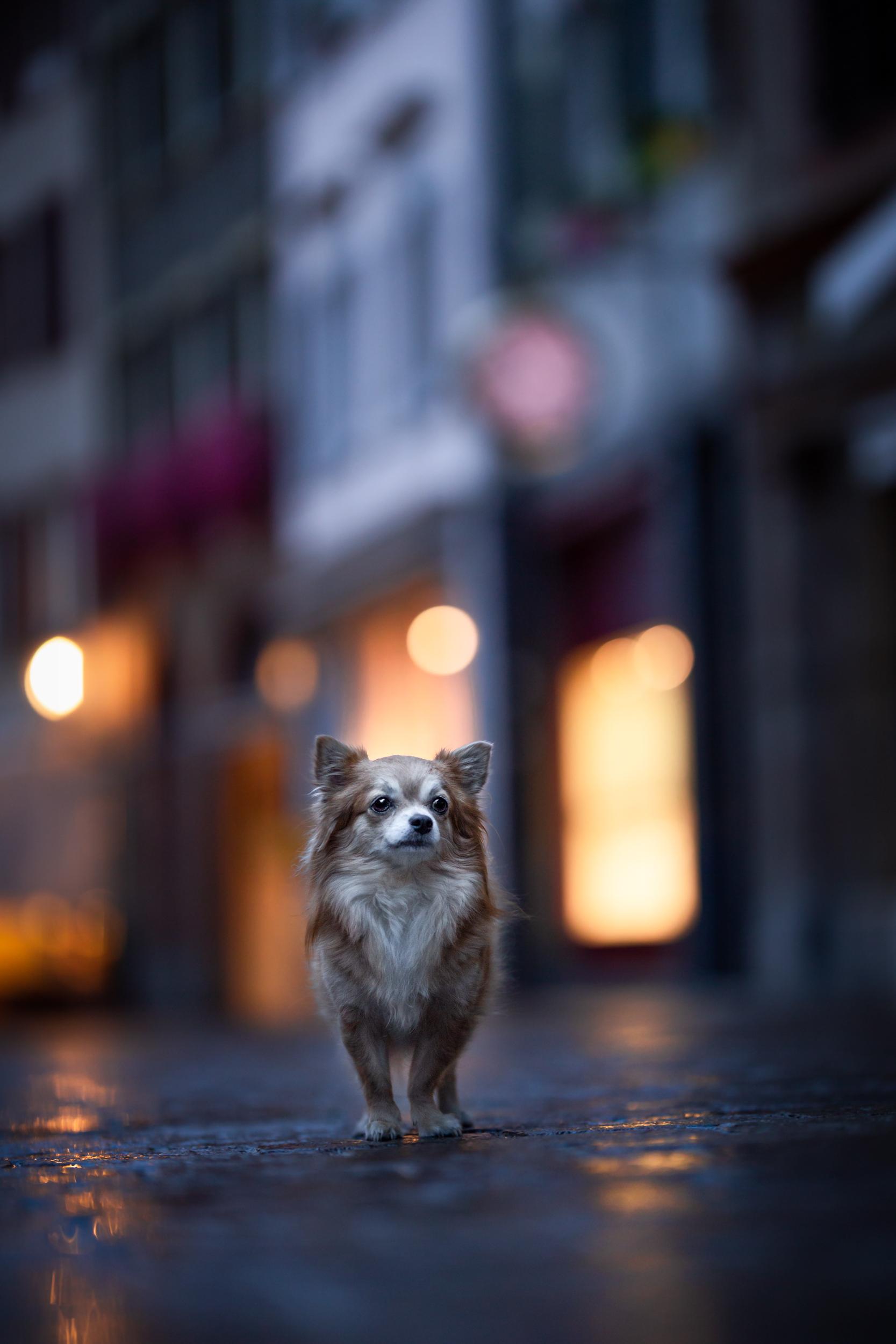 ein Chihuahua im Abendlicht in der schweizerischen Altstadt von Rheinfelden