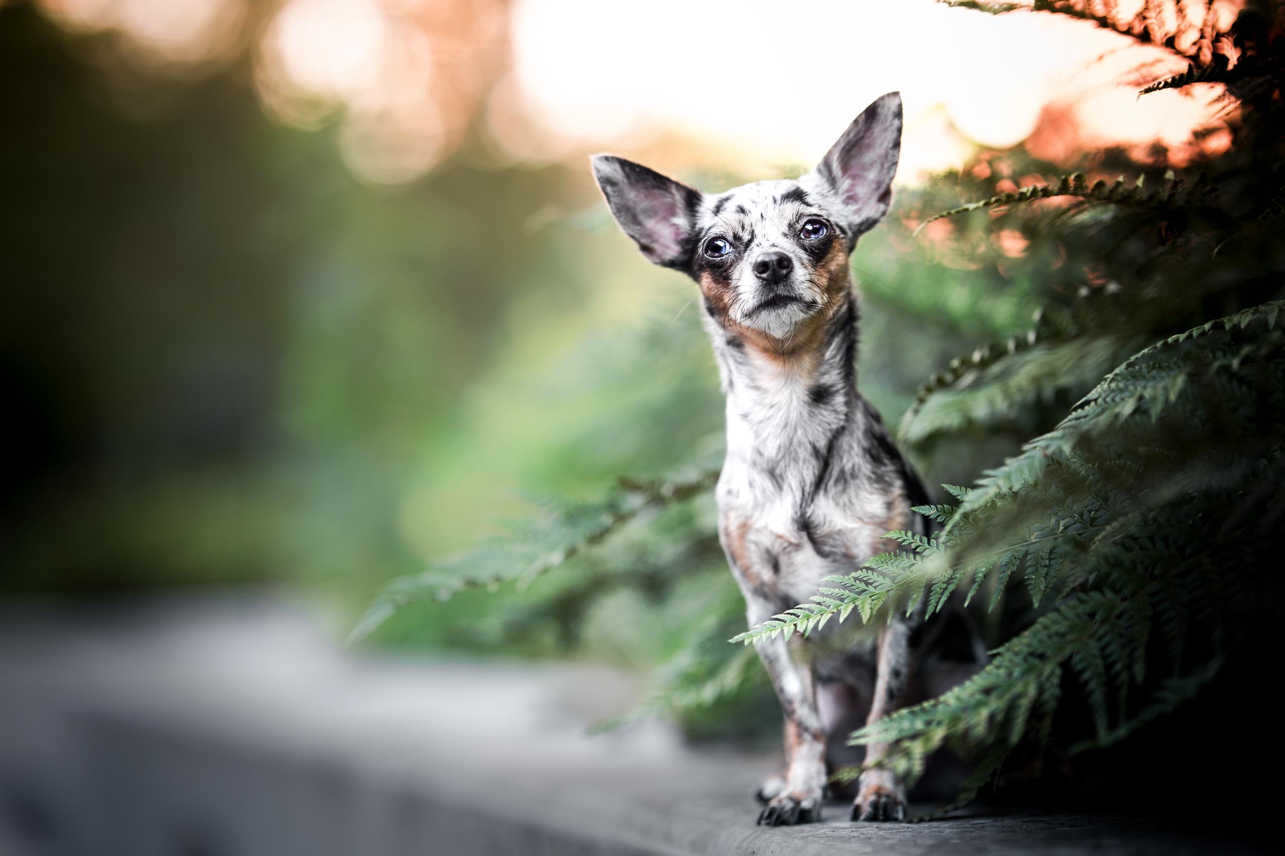 Chihuahua Hündin sitzt auf einer Mauer im Farn in Rheinfelden Schweiz