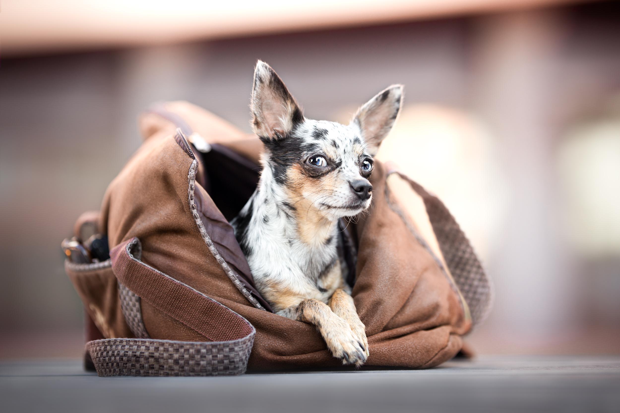 Hundefotografie Nordwestschweiz: Chihuahua liegt ganz bequem in einer Hundetragetasche auf einer Bank in Rheinfelden Schweiz