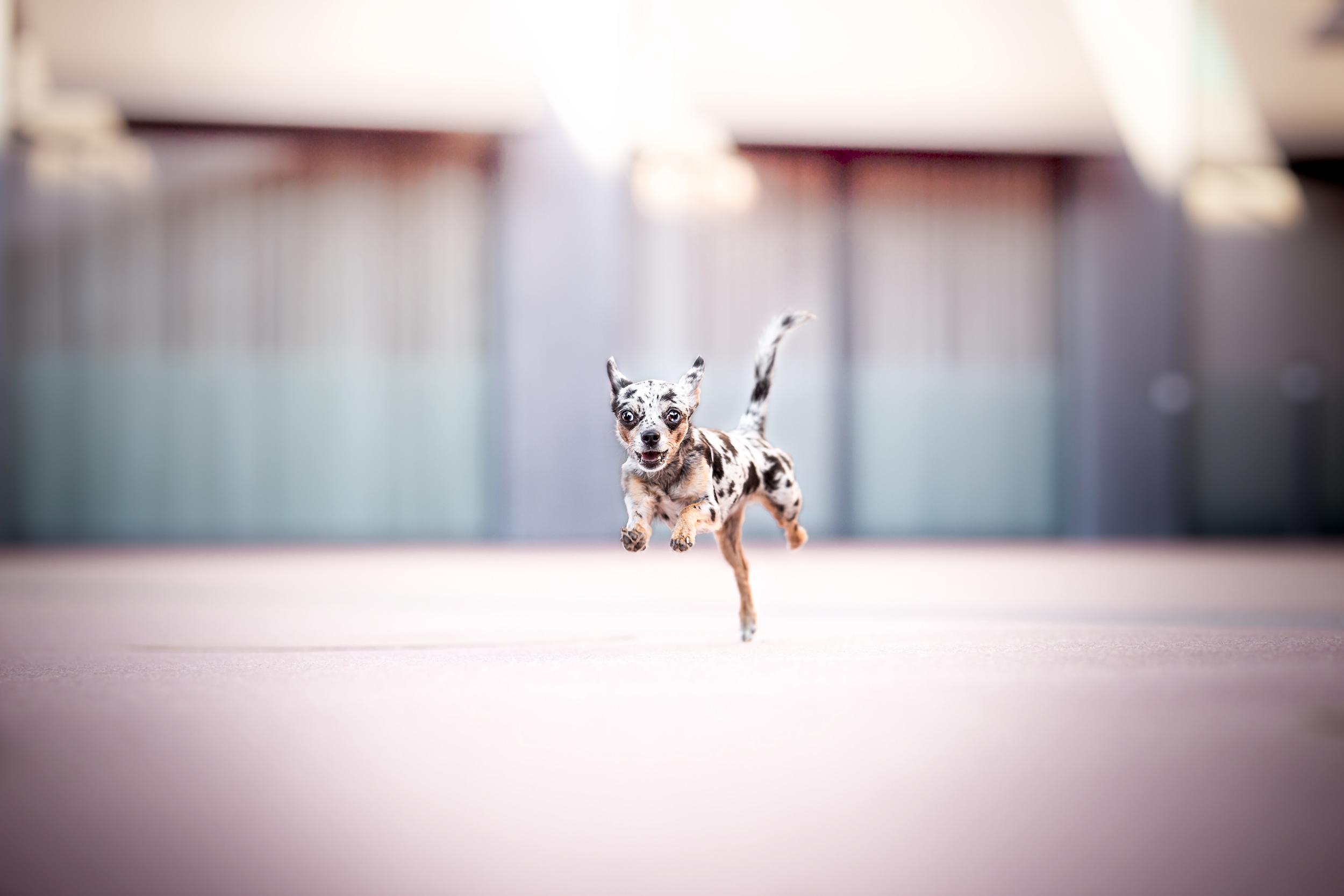 Chihuahua rennt im Galopp durch die City von Rheinfelden Schweiz