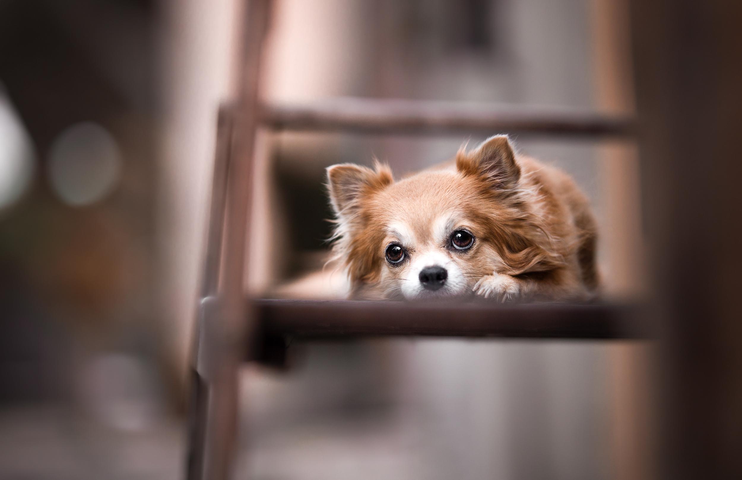 Chihuahua liegt auf einer Bank in der Altstadt von Rheinfelden Schweiz