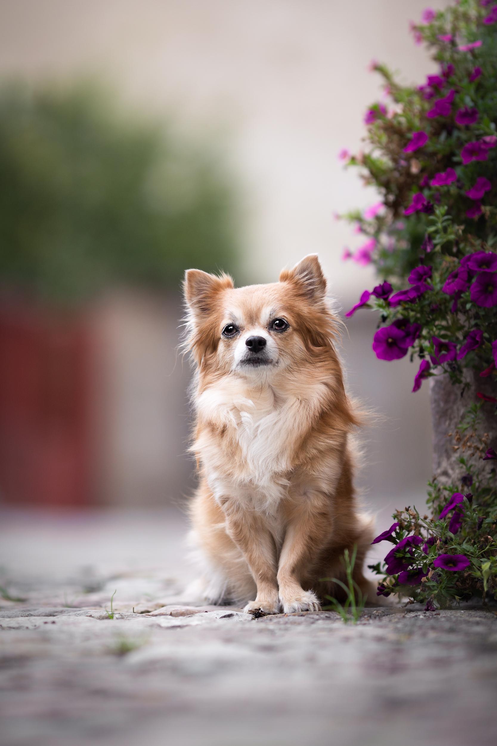 Chihuahua Hündin in der Altstadt von Rheinfelden