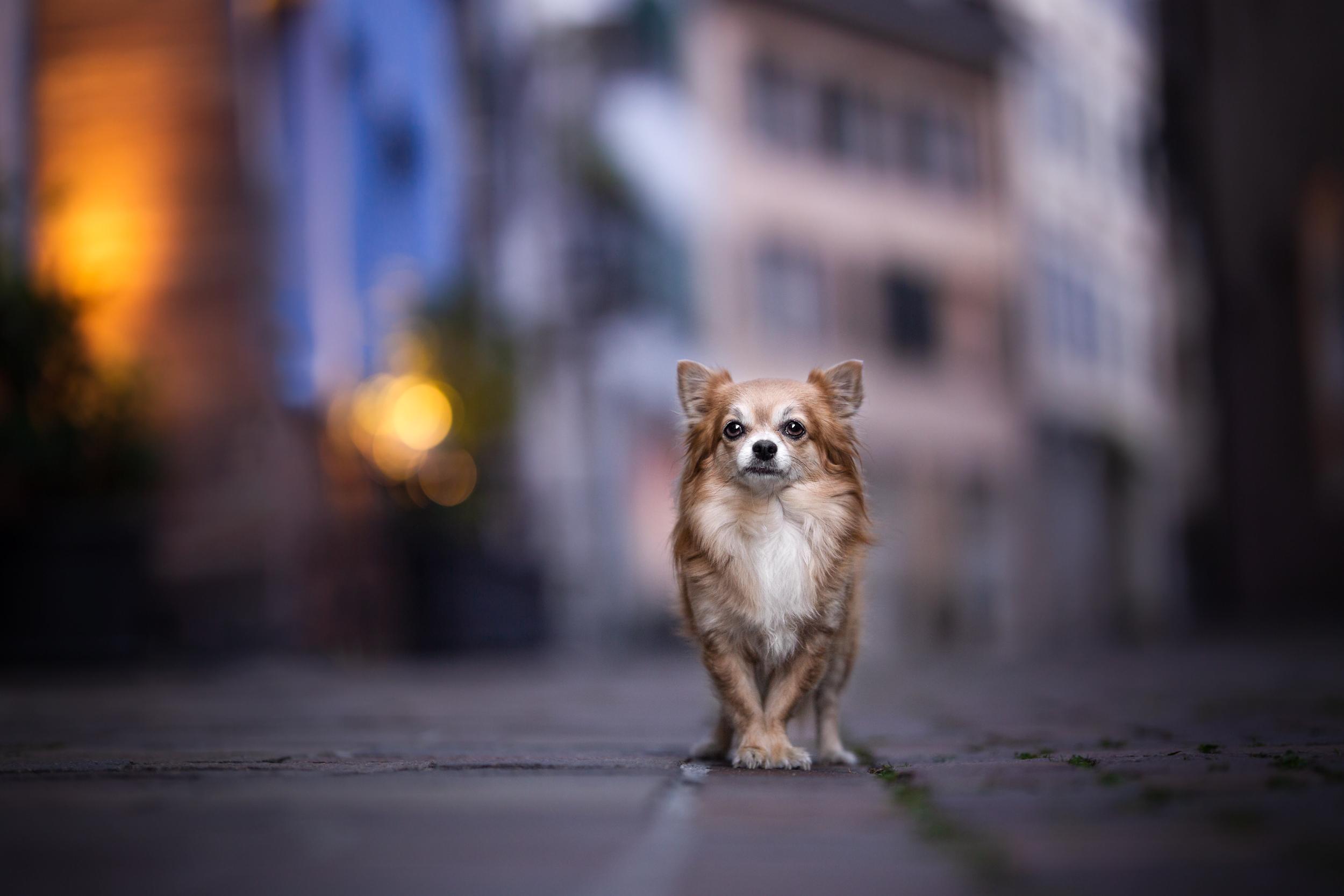 Chihuahua steht im Abendlicht in der Altstadt von Rheinfelden