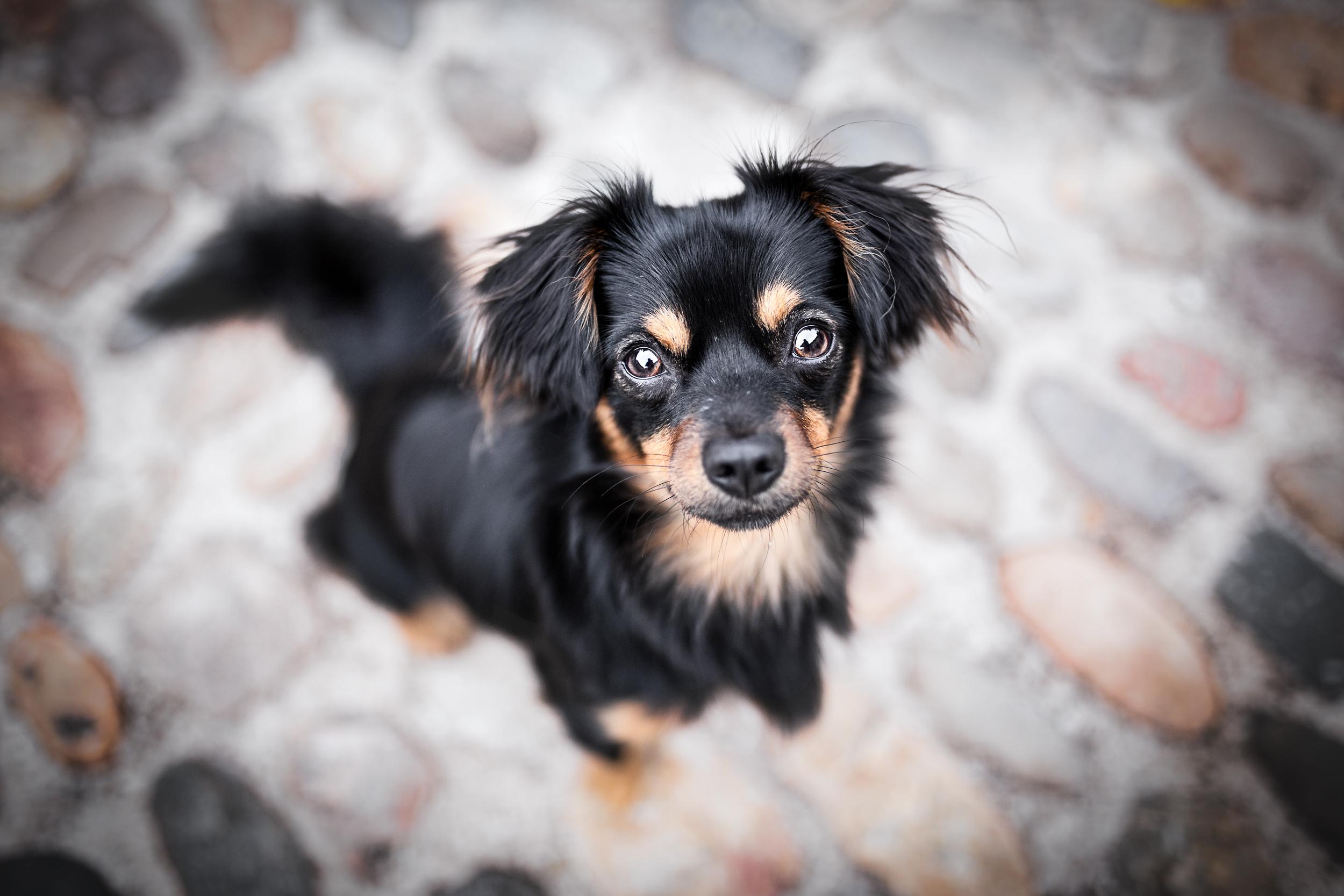 Suesser Chihuahuamischling in der Stadt Rheinfelden