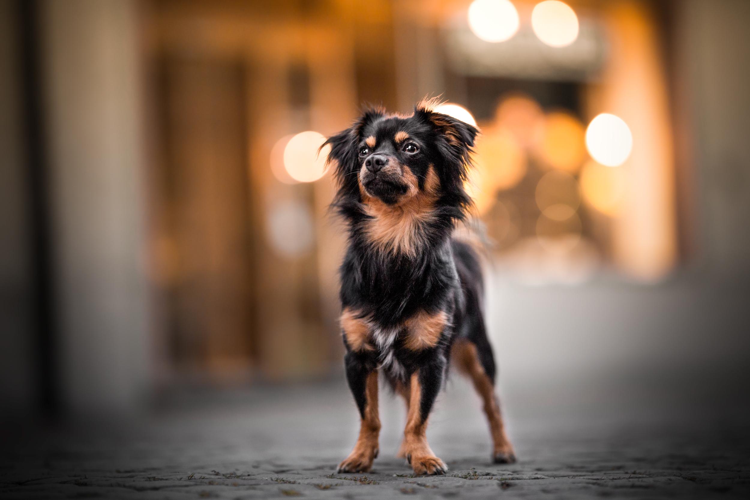 Junger Chihuahuamischling steht und schaut in der Altstadt von Rheinfelden