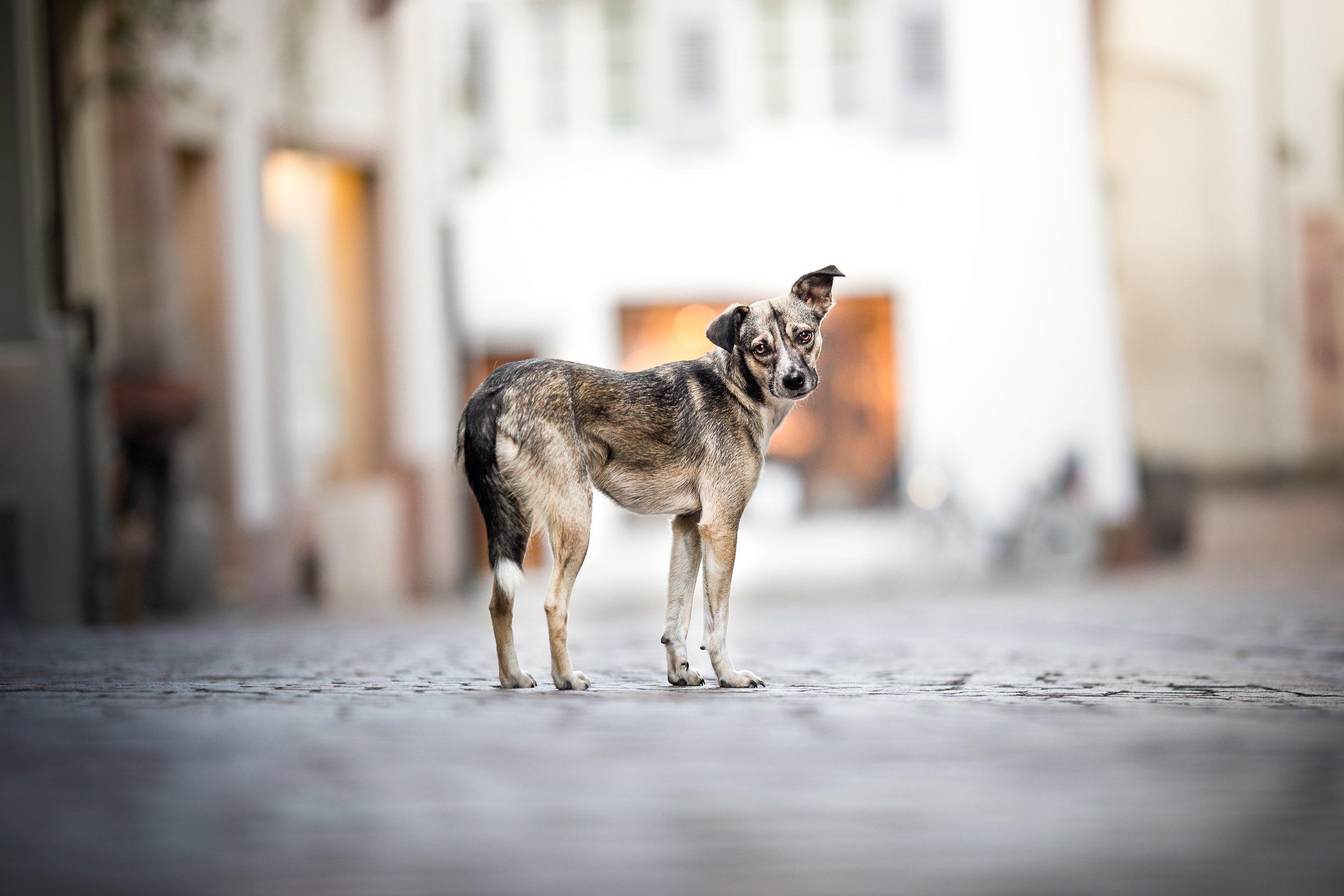 Mischlingshündin in der Altstadt von Rheinfelden Schweiz