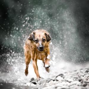 Mischlingshund sprintet im Wasser