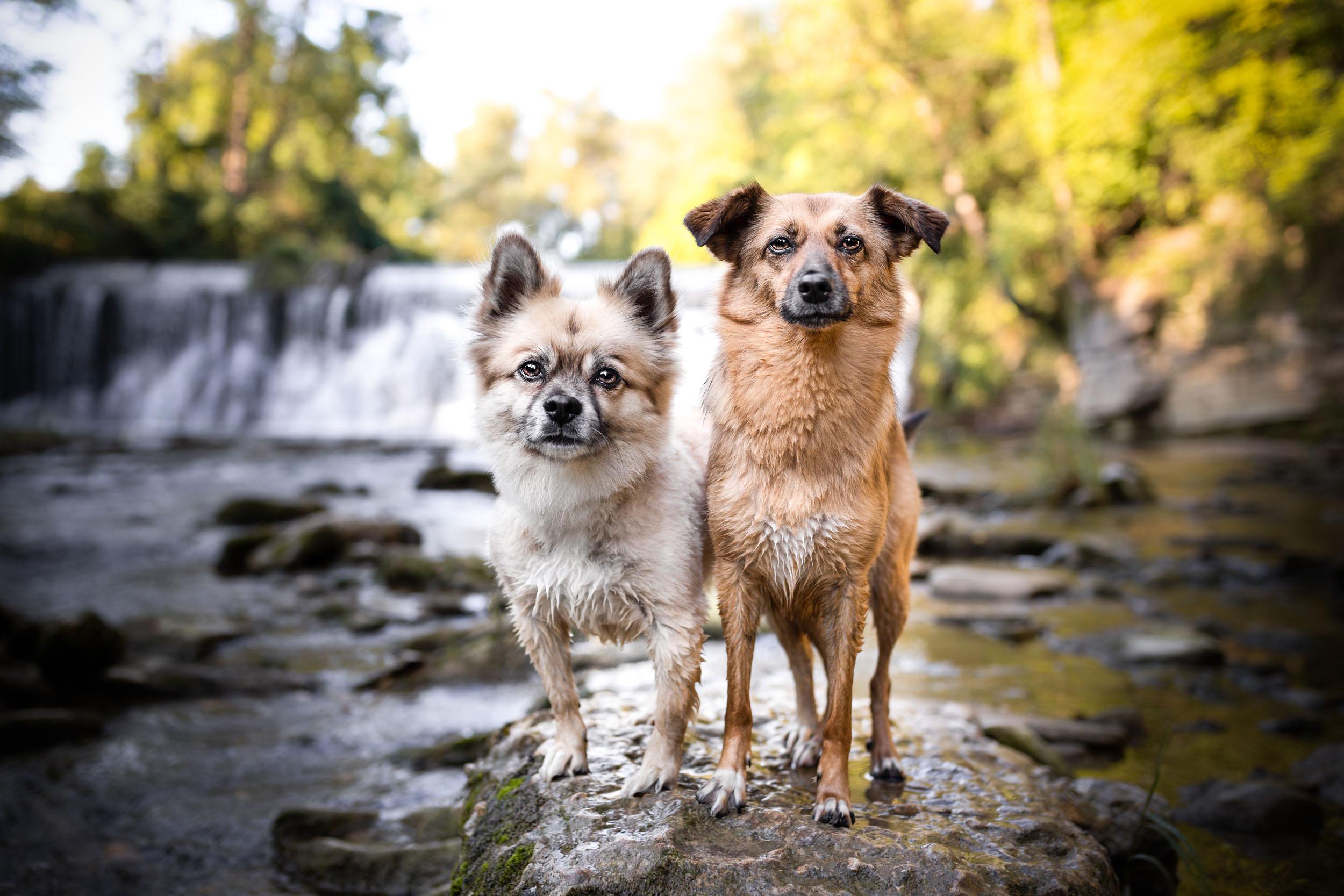Zwei Mischlingshunde vor einem Wasserfall in der Schweiz